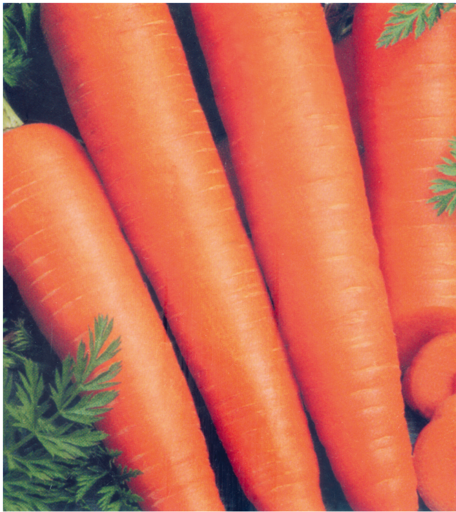 Suntoday new kurode five inch carrot seeds