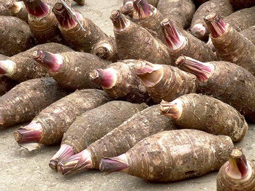 Fresh Taro, Taro root, cocoyams