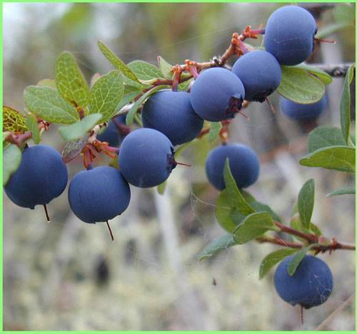 Bilberry Extract 25% Anthocyanidins UV(Chinese Standard,European Standard)