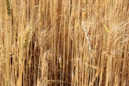 Durum wheat for export