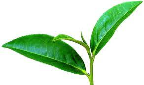 green tea extract Tea polyphenols