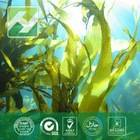 Brown Algae Extract Fucoidan 85%