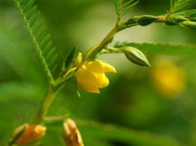 Cassia Nomame Extract