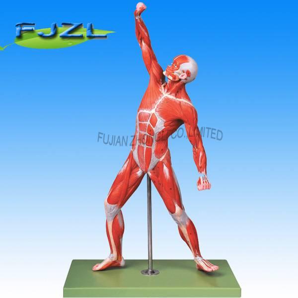 male model ,muscles of male male muscle model