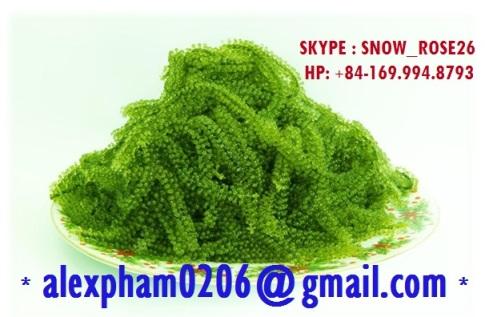 Seagrapes Seaweed,Umibudo,Green Caviar,Caulerpa Lentillifera,Latu arusip