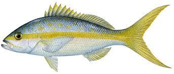 yellowtail