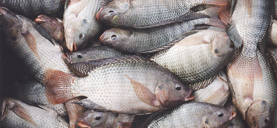 Fresh Frozen red and Black Tilapia fish for sale