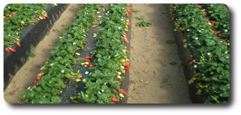 Smart mulching: these films are also biodegradable, fotoselective, for sterilization...