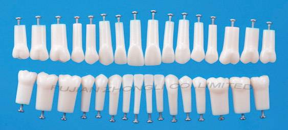 replacement teeth for Nissin and Frasaco  model