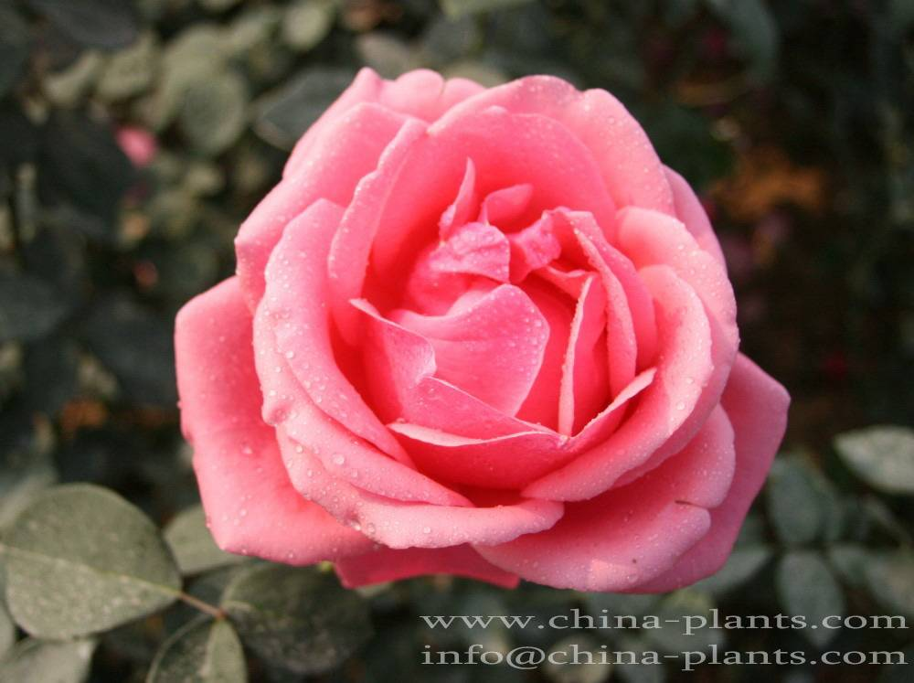 Buy/order/purchase/offer rose plants for New Year gift online