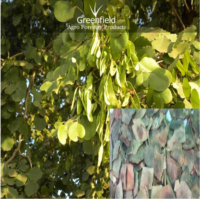 Shisham forestry tree seeds ( Dalbergia Latifolia )
