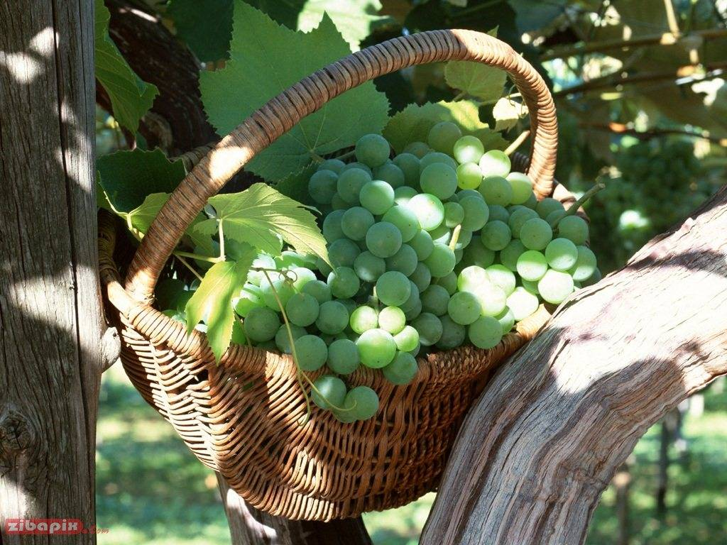 white grape juice concentrate with the best quality