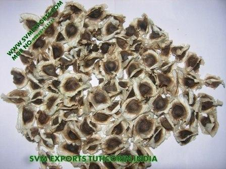 Superior Quality Moringa PKM1 Seed Exporters India