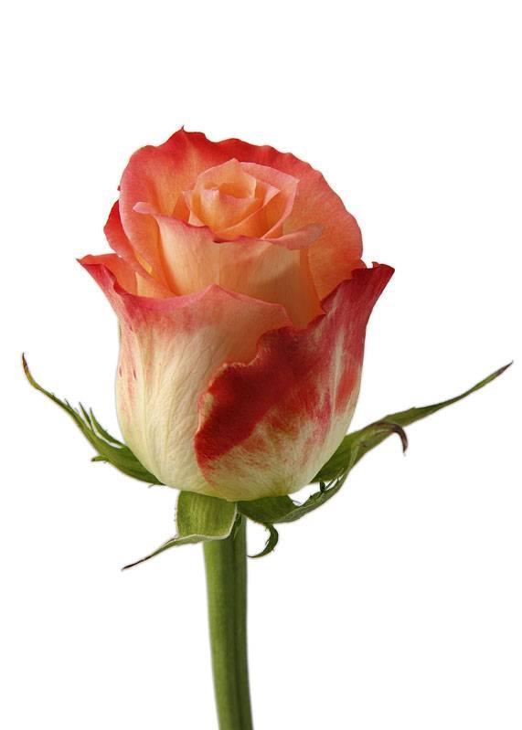 Cabaret Bi color rose