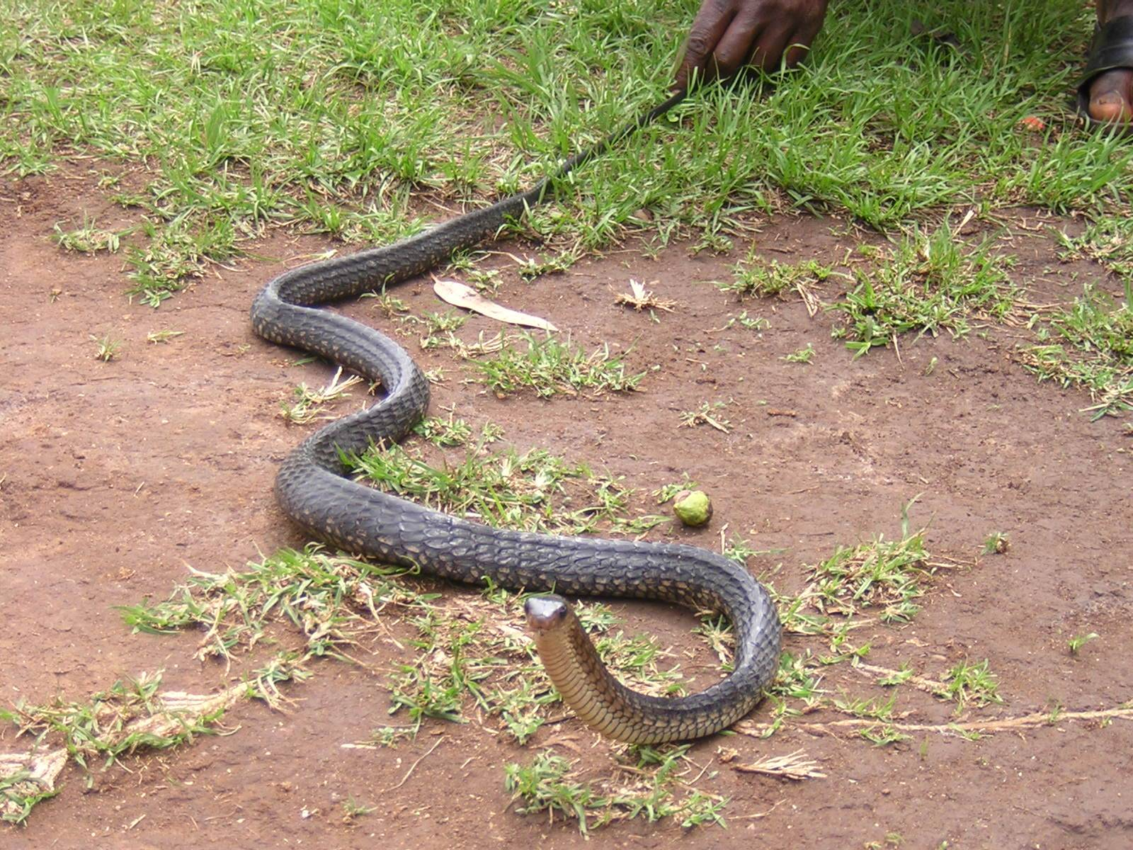 water cobra