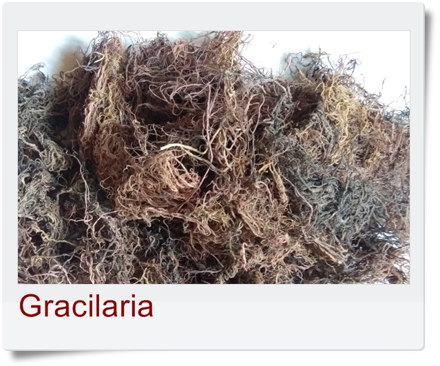 Gracilaria