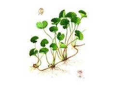 natural asiatic pennywort herb extract