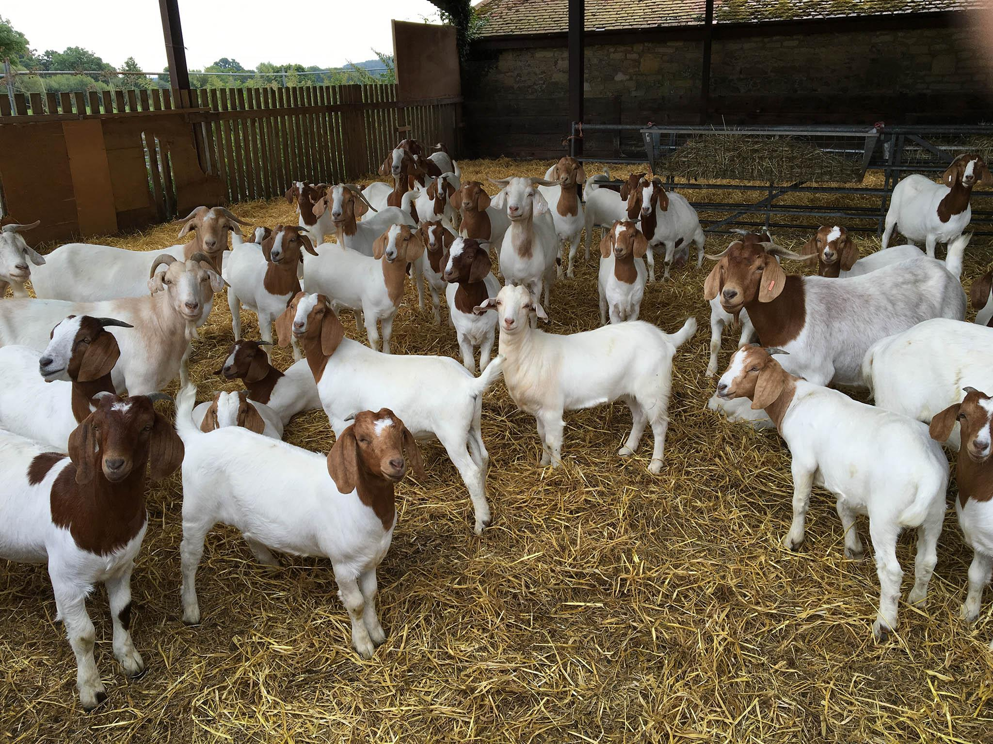 Boer Goats / Live Boer Goats Male and Female / Live Sheep, Cattle, Lambs and Alive Cows