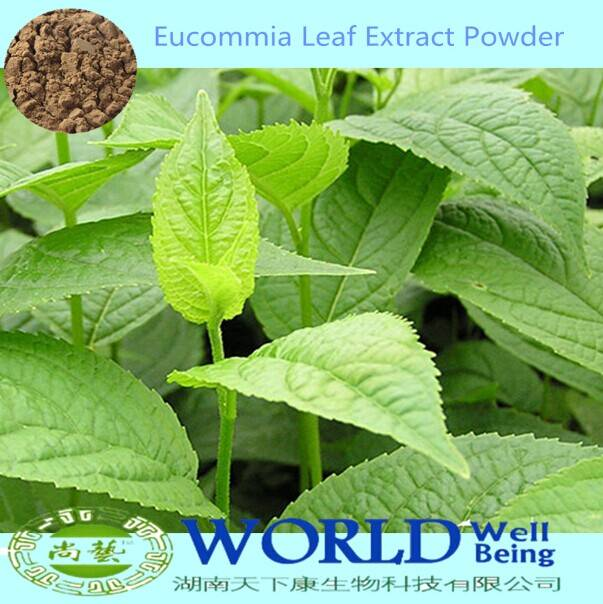 Hot Selling Factory Supply Eucommia Leaf Extract Powder