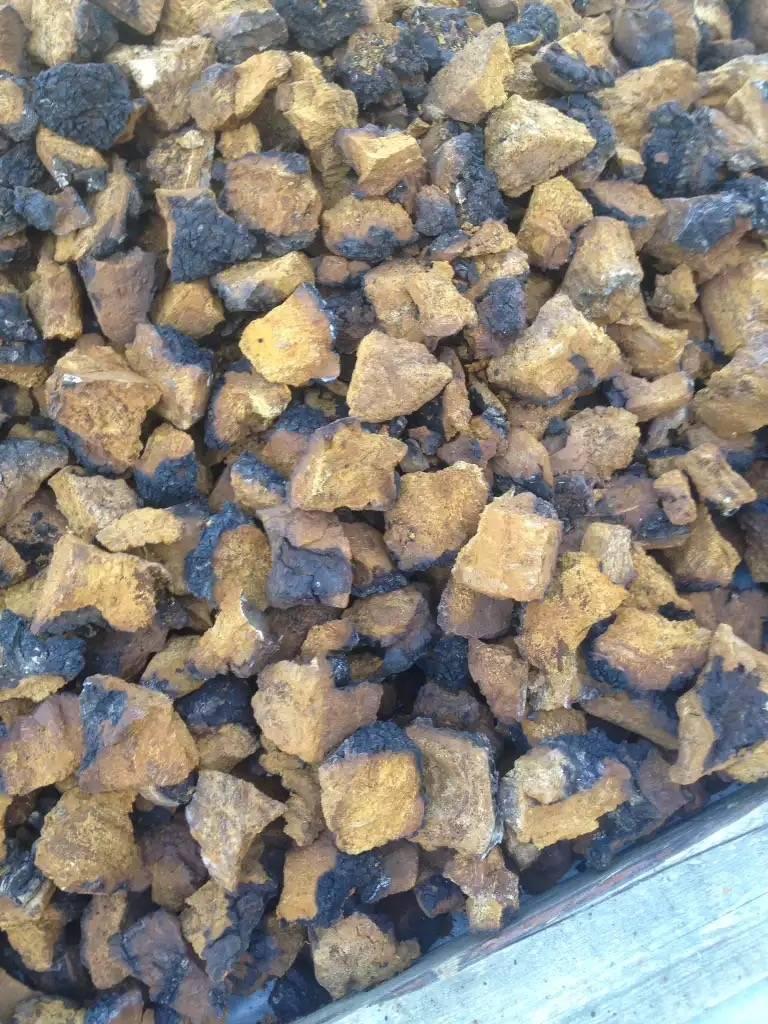 Chaga mushrooms packed in 16 kg bags