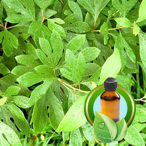100% Pure Sassafras Essential Oil