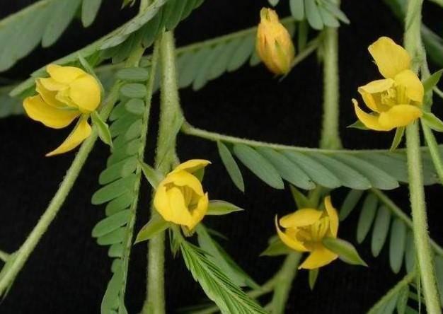 Cassia Nomane Extract