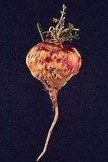 MACA , MAKA Lepidium meyenil
