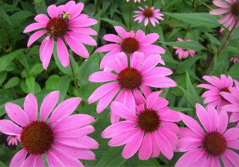 Natural Echinacea Purpurea Extract With 4% Polyphenols