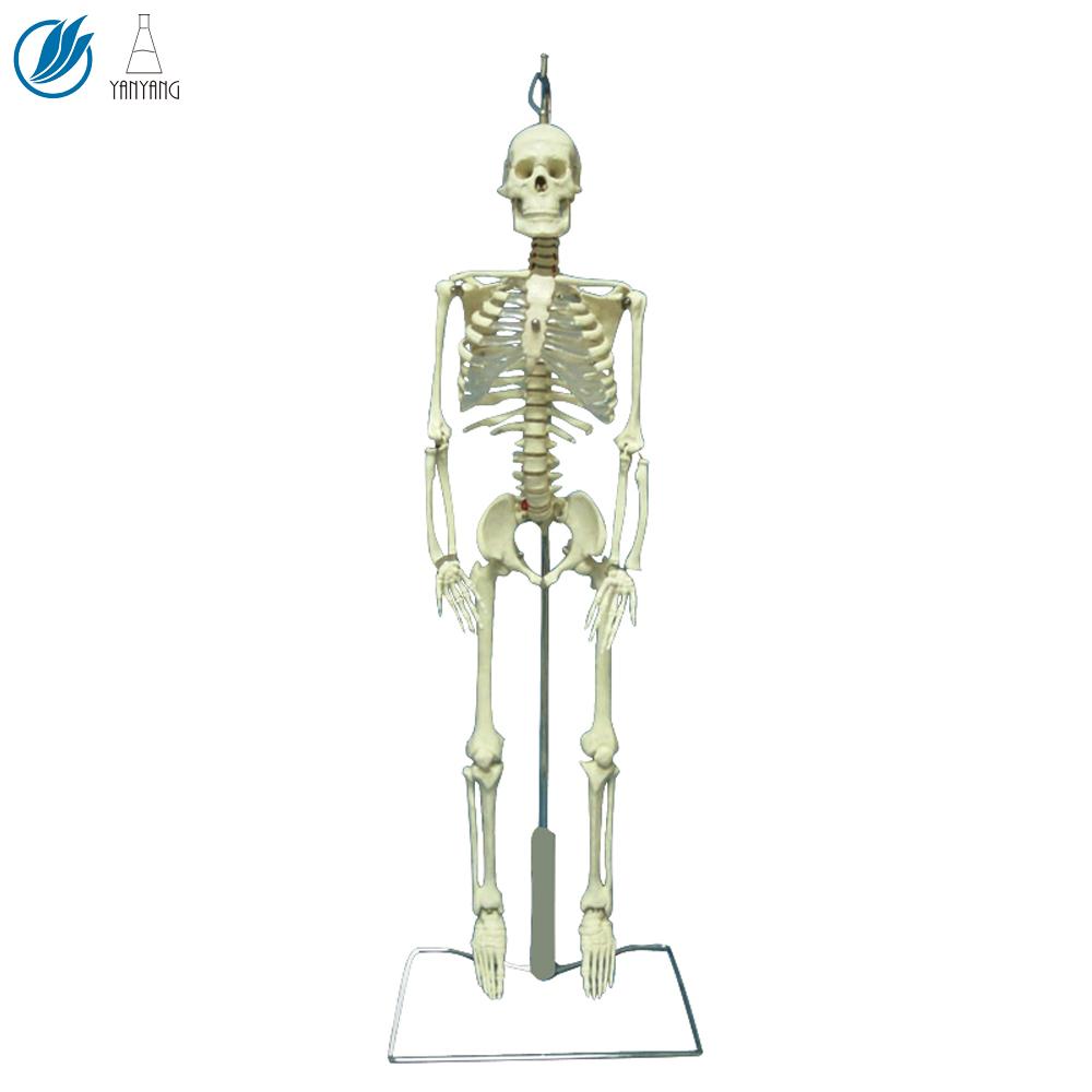 Human Organ,Human Muscle And Skeleton Anatomy Model