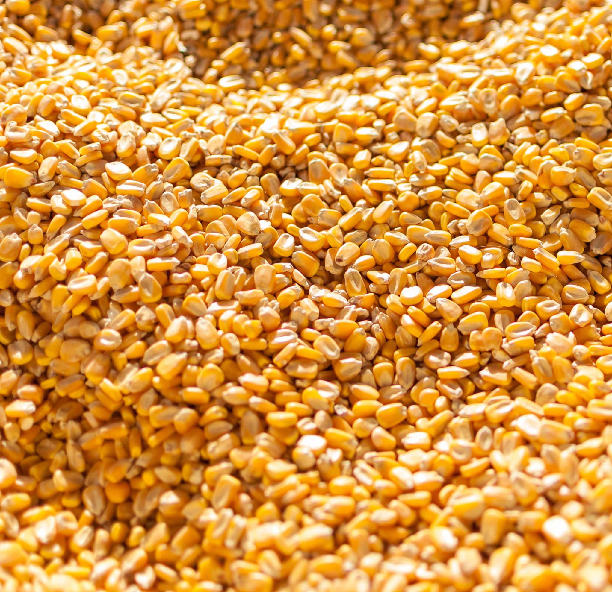 Yellow Maize & Yellow Corn