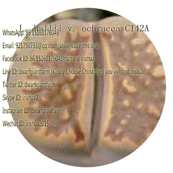 50pcs a set L. hallii v. ochracea C142A seed 25usd