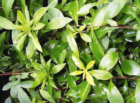 Sanna Leaf Extract