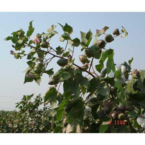 Cotton seed P.E