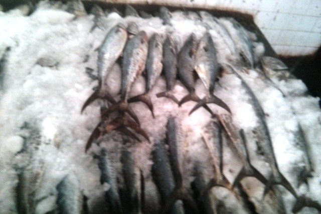 Fresh King Mackerel / Kingfish, Hook Line Caught A+