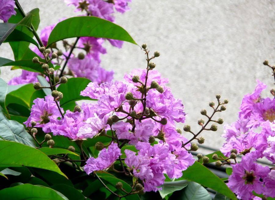 Banaba Leaf P. E.1%-98% Corosolic Acid