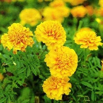 Lutein marigold oleoresin