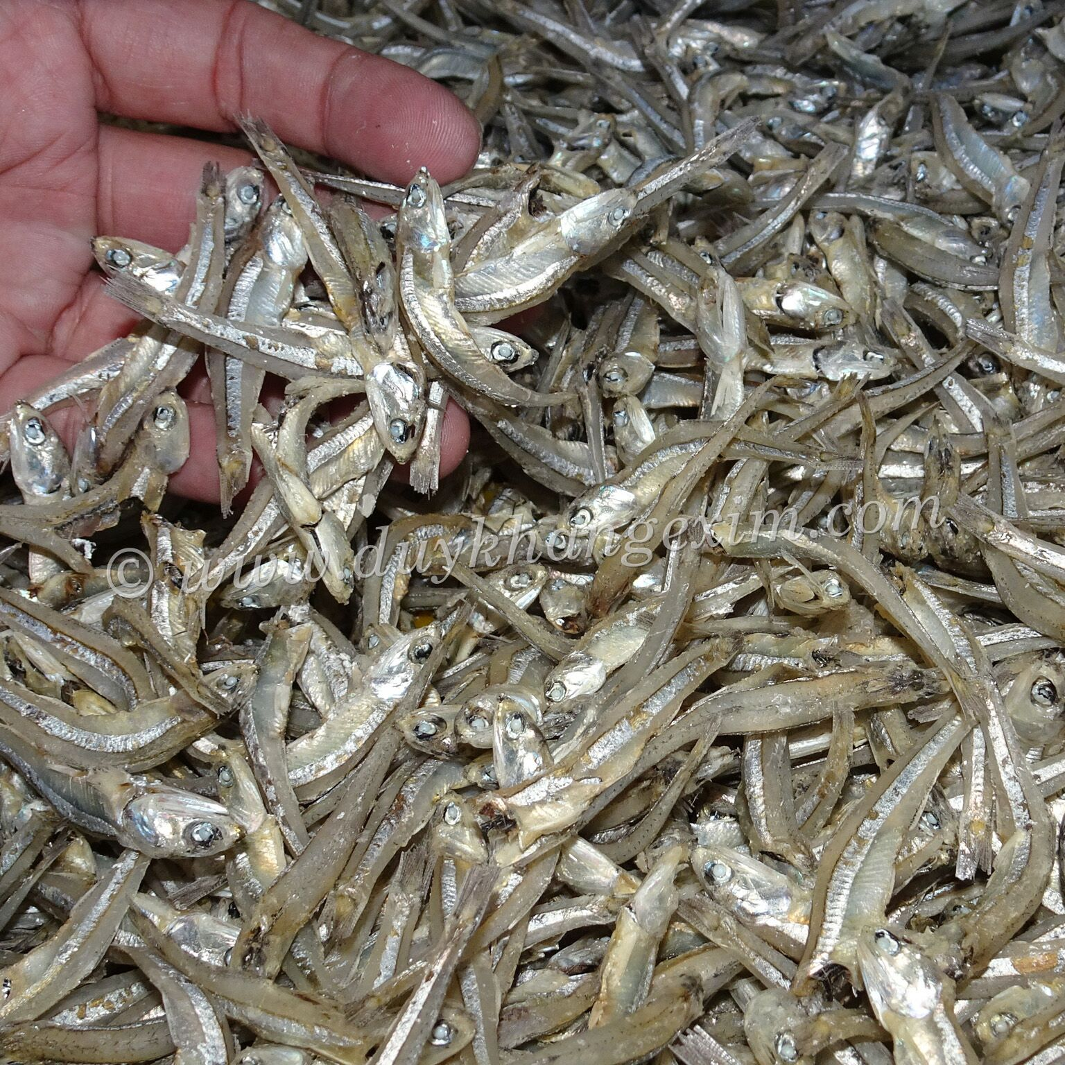 PREMIUM BOILED ANCHOVIES WITH ATTRACTIVE PRICE