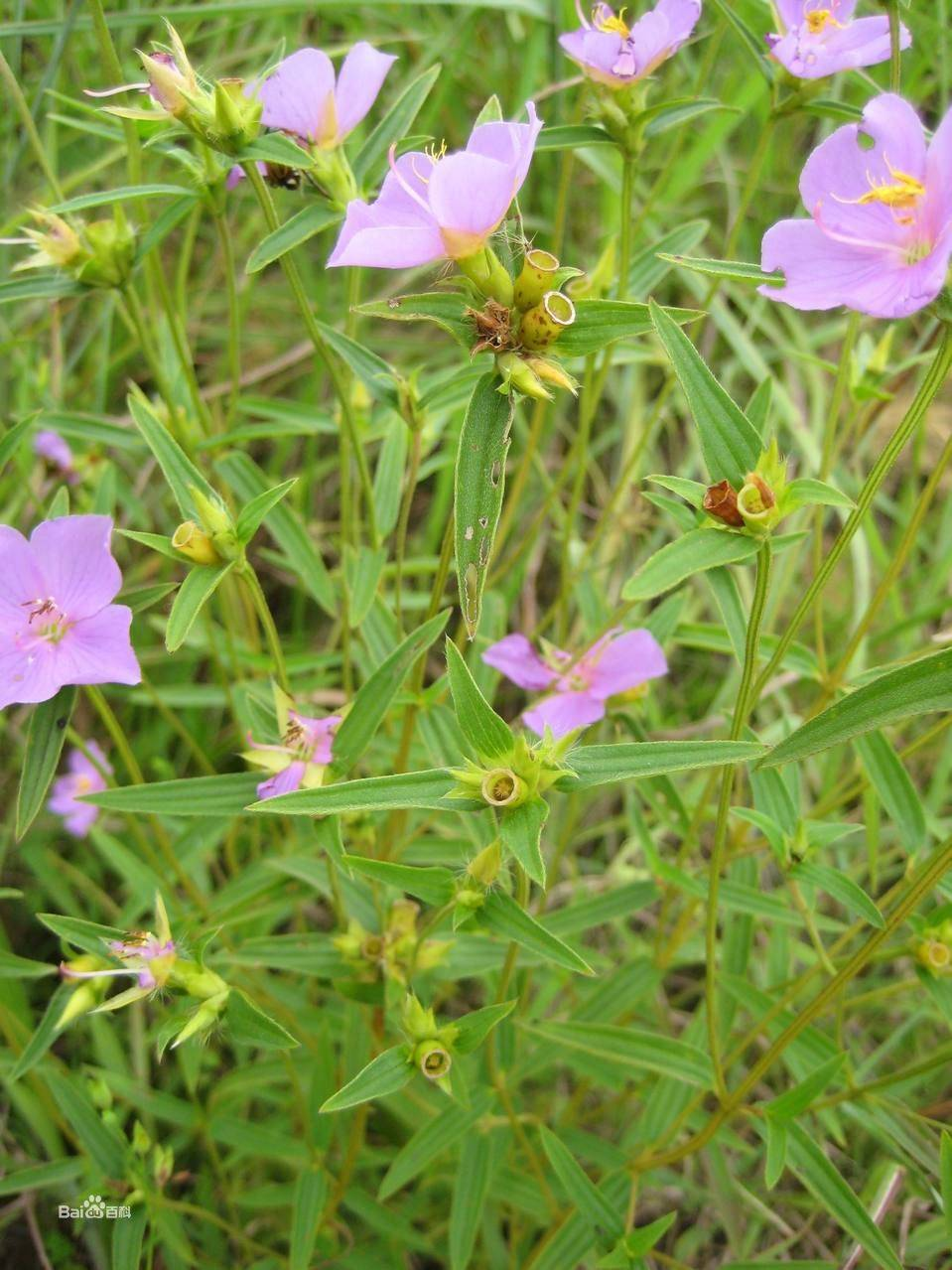 Herbal Cowherb Seed Extract