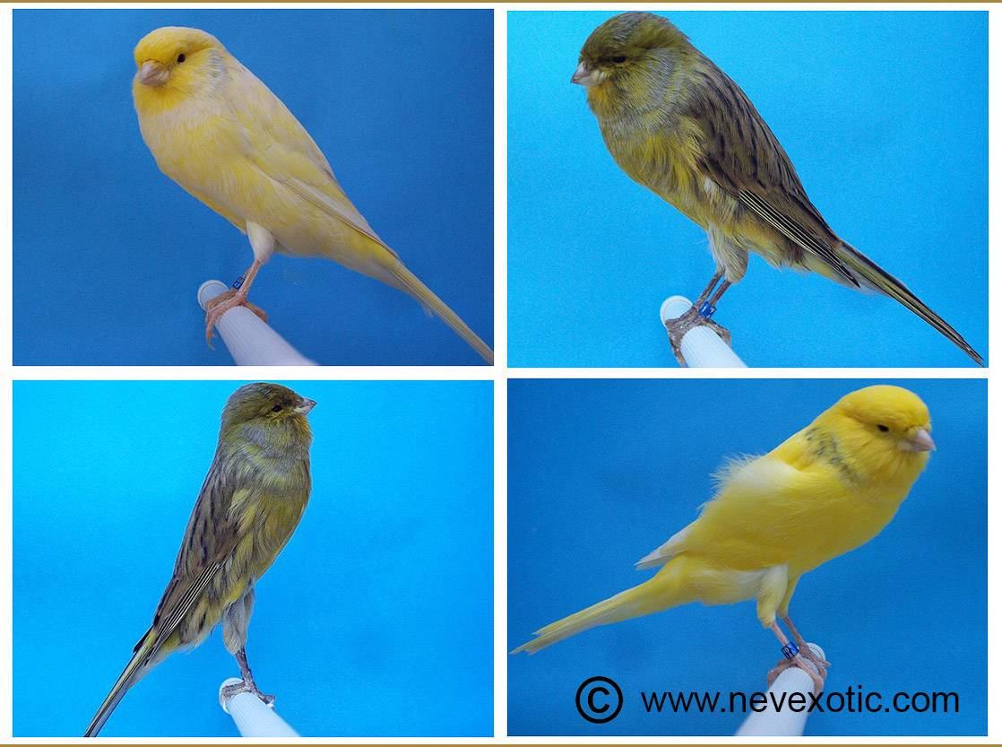 Healthy And Quality Yorkshire Canary From Turkish Breeders