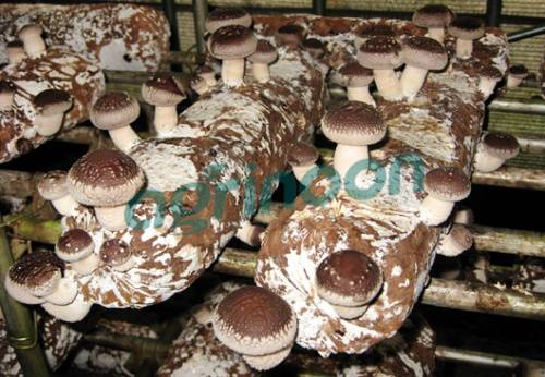good quality shiitake mushroom spwan logs