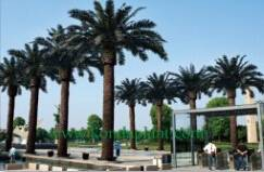 artificial date palm tree for decoration