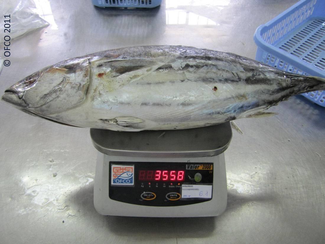 OFCO Fish Specialist, QC/QA  PANGASIUS - TUNA - MAHI MAHI - MACKEREL ....