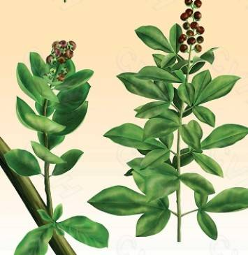 Fructus Viticis P.E./Chasteberry P.E.