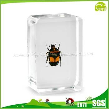 Flower Scarab Beetle for Children Study