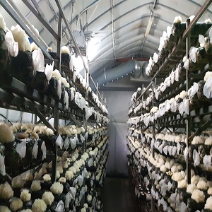 most economical modern mushroom cultivation farm