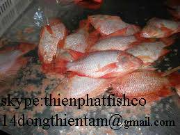 we supply red tilapia to EU market  with high quality
