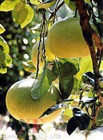 Honey Pomelo,Grapefruit,Fresh Fruit
