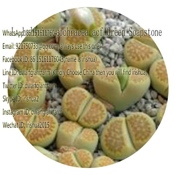 50pcs a set L greenstone seed 25usd