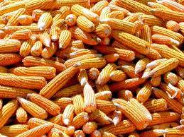 Yellow Corn For Human Consumption