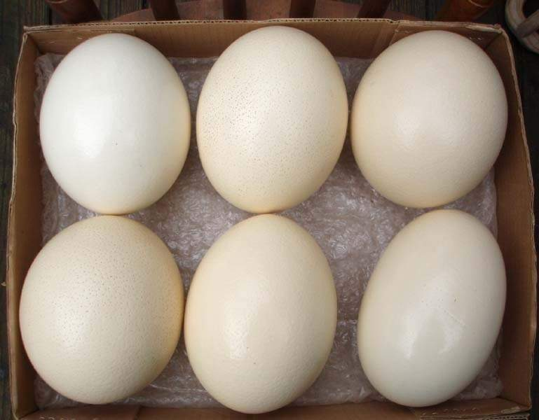 Ostrich Fresh eggs , Fertile eggs and Chicks for sale